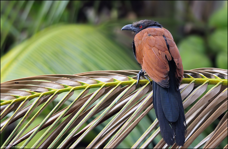 Greater Coucal...