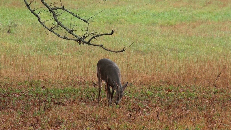 whitetail_young_buck_01.mov