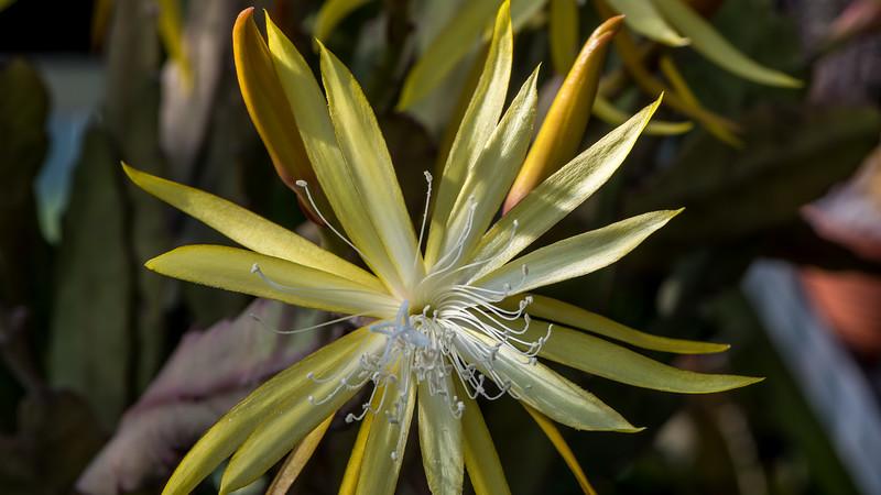 Disophyllum macranthus
