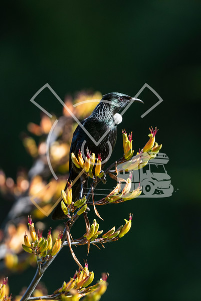 Portrait of colorful adult tui bird on new zealand flax