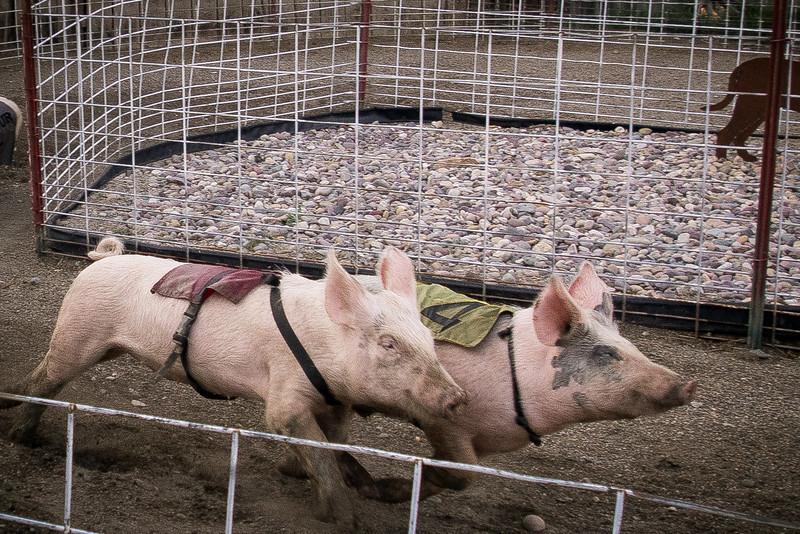 pigs running.jpg