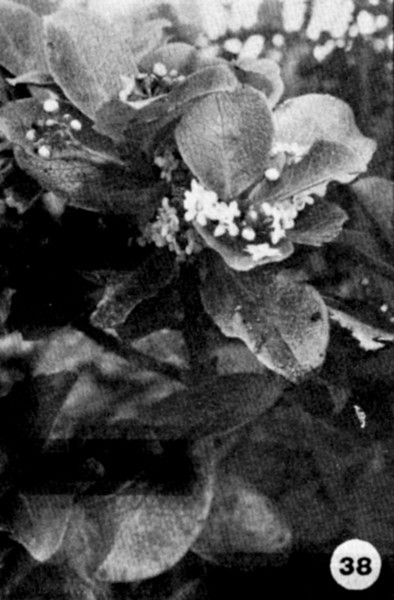 38. Ilex anomala Image from the Kaala Bog Plant Guide: Kaala Natural Area Reserve, Mt. Kaala, Oahu, a 1992 publication of the State of Hawaii (DLNR/DOFAW) .