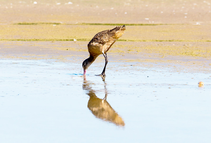 A Marbled Godwit forages in the shallow tidewater.