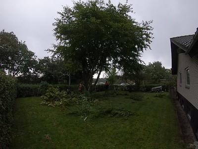 Opstammet Bøgetræ