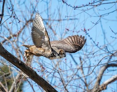 Pipe Creek Wildlife Area Great Horned Owl