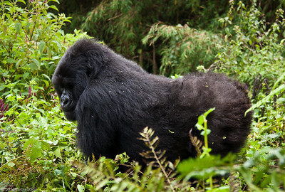 Rwanda (Mountain Gorillas)