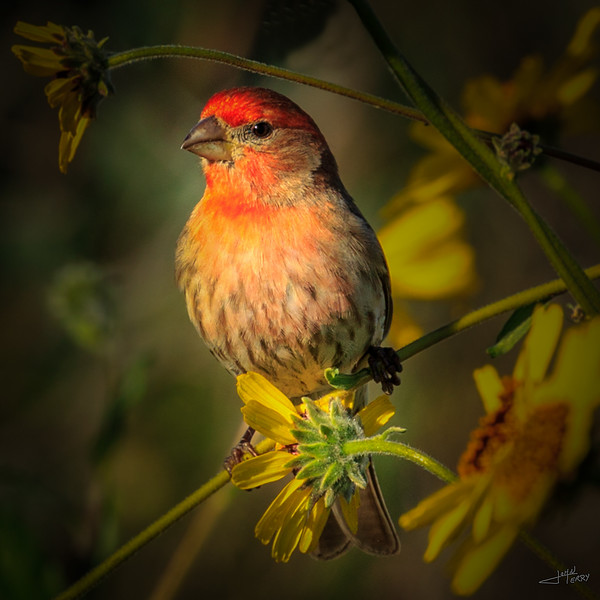 House Finch in Spring.jpg