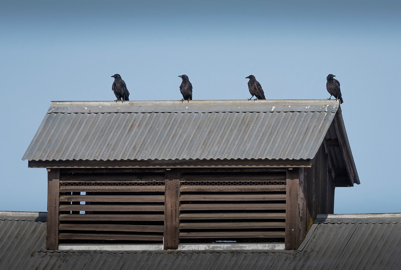 Four Crows on Barn