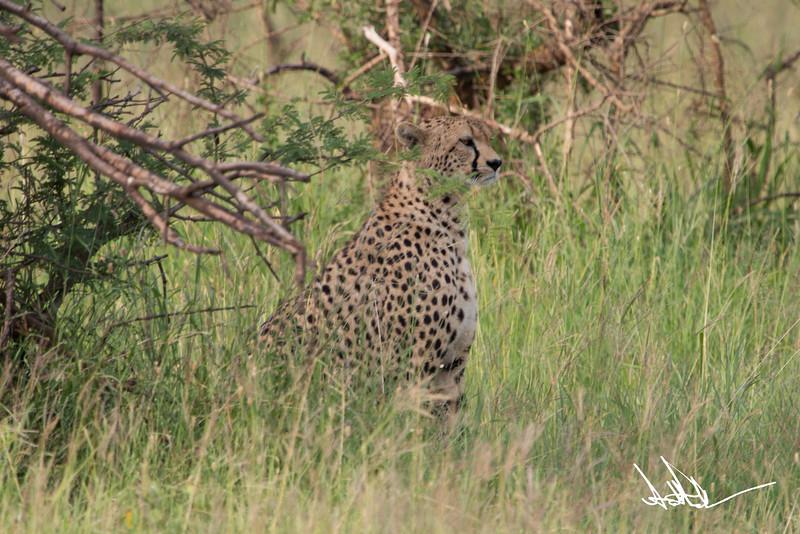 CheetahS-6.jpg
