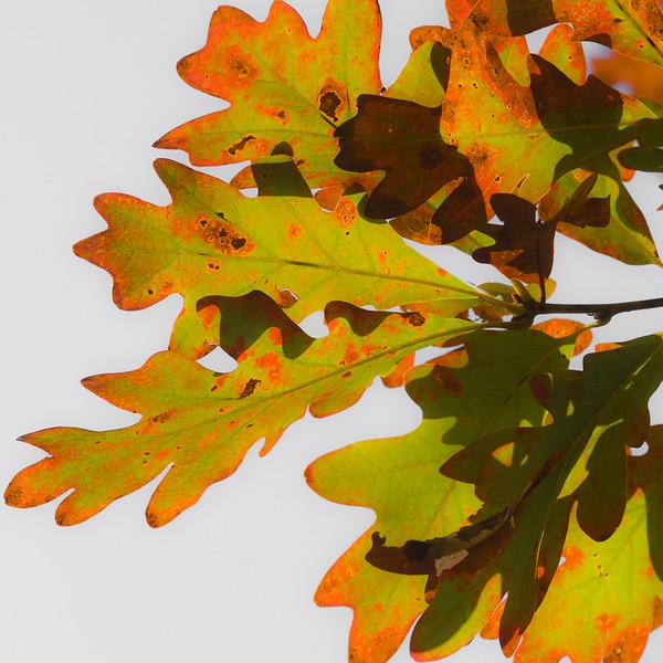 """Oak"" by A.E. Amador"