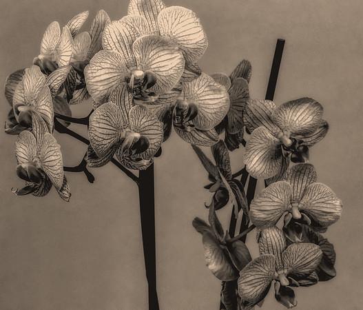 2017-01-23 Orchid, Ilford Pan F Plus, XTOL