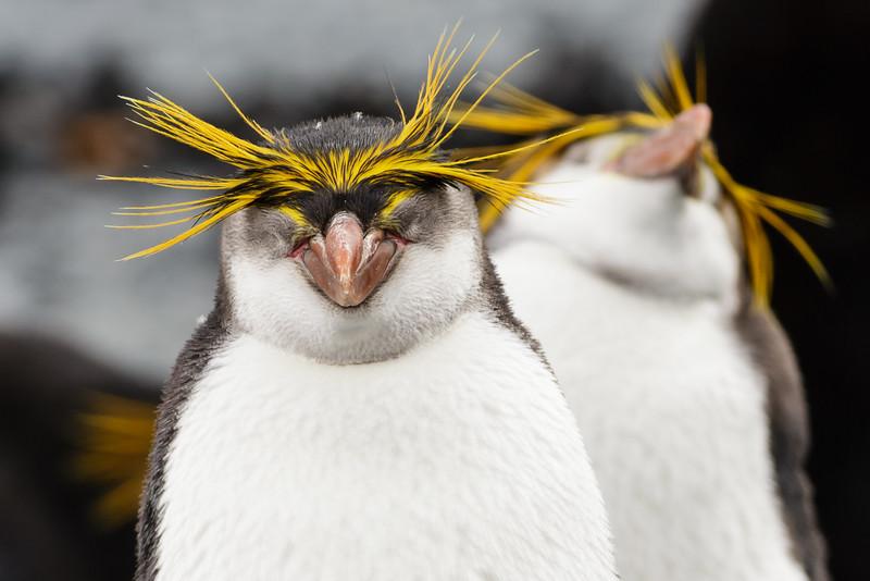 Royal Penguin (Eudyptes schlegeli)