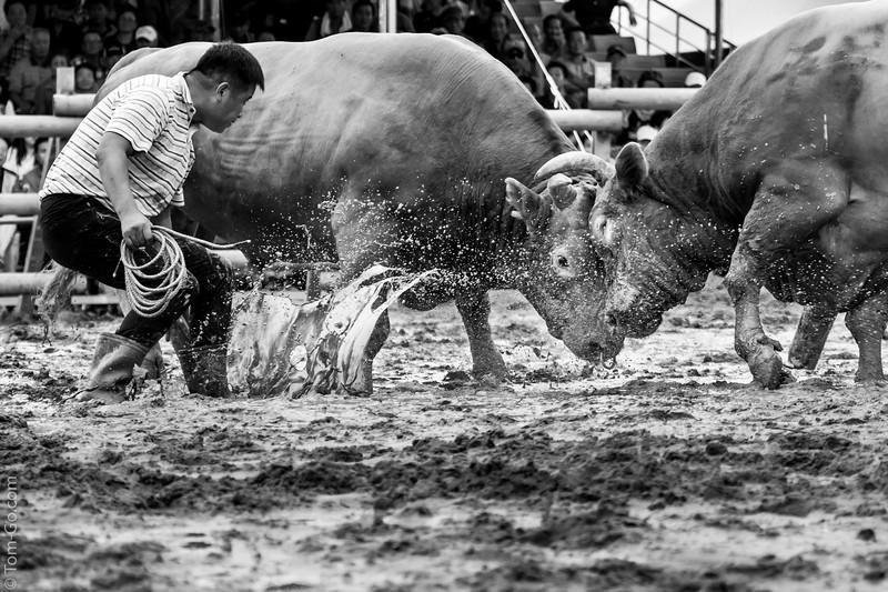 Korean Bull Fight event