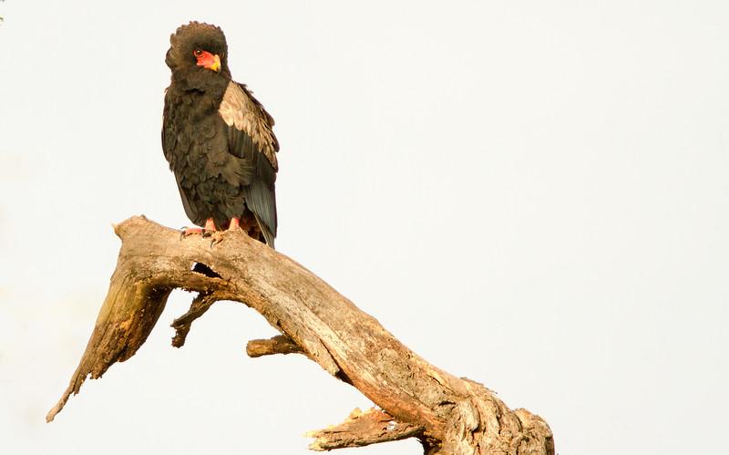 Bataleur Eagle Terathopius ecaudatus.jpg