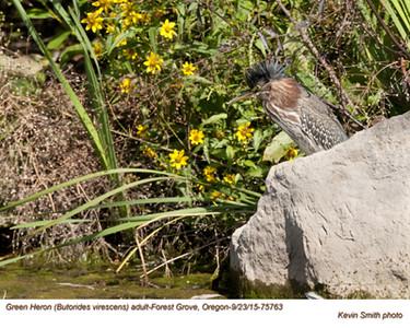 Green Heron A75763.jpg