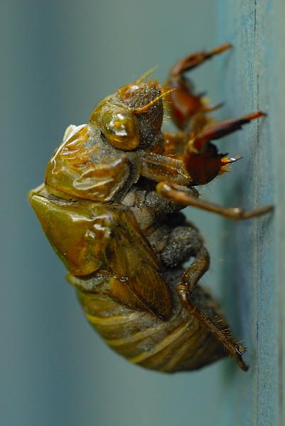 Cicada Skin.jpg
