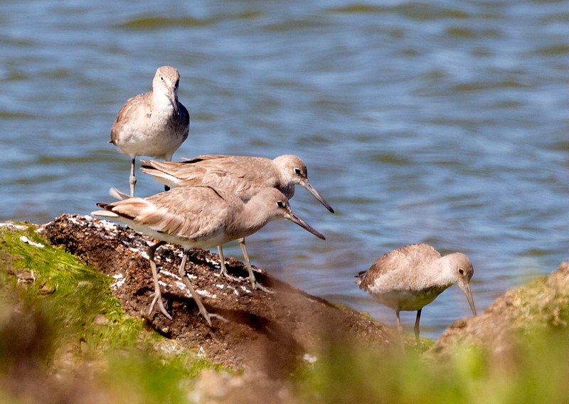 Four Willets on the rocks