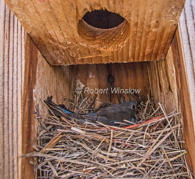 Female Western Bluebird, Sialia mexicana, Sitting on a Nest, Inside a nest box