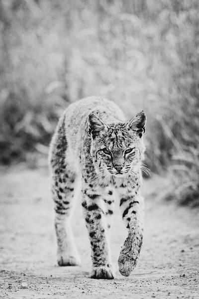 Bobcat - Lynx rufus - Black & White