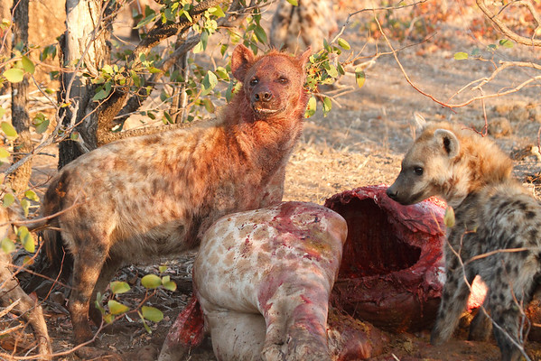 Hyena Kill Mashatu Botswana 2013