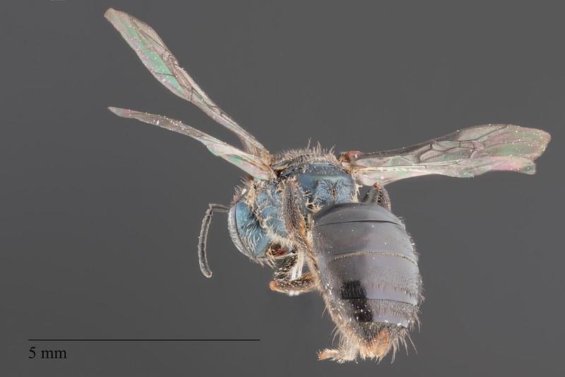 Homalictus hadrandar female