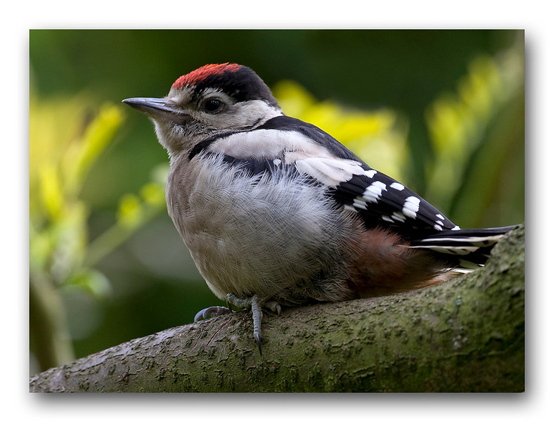 Juvenile Greater Spotted Woodpecker