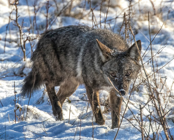 Coyotes in the CVNP