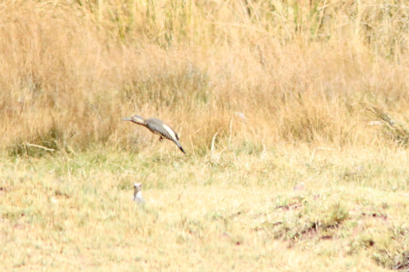 andean flicker with andean lapwing