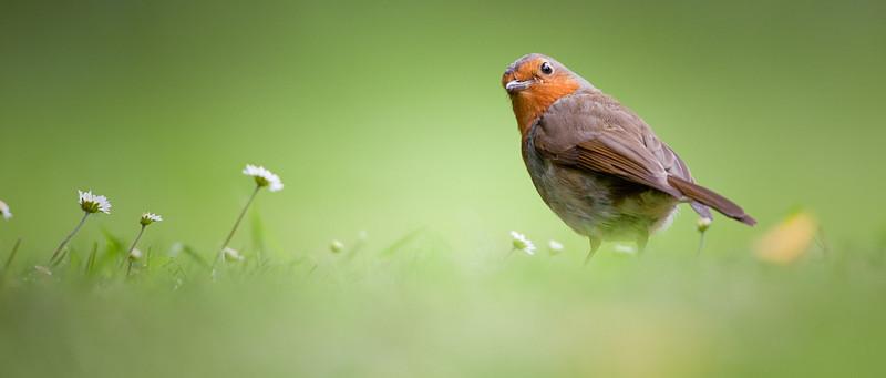 Robin daisy.jpg