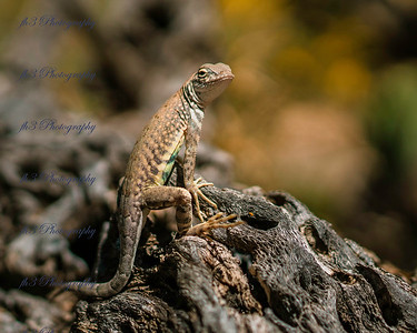 In March we went through Tucson and stoppe by the Saguaro National Park. This lizard was not afraid of us at all. I had my 35 mm lens and was about 7 inches from it.