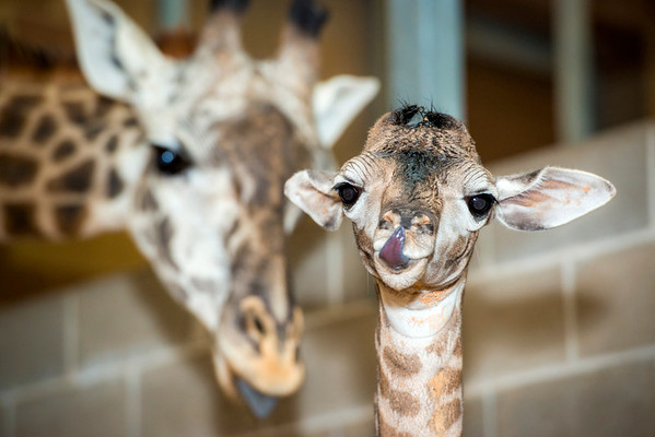 Baby Giraffe, Baridi