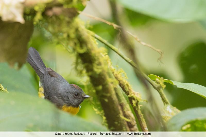 Slate-throated Redstart - Record - Sumaco, Ecuador