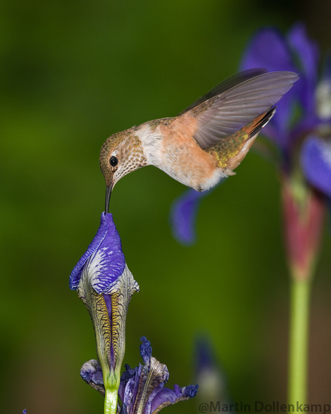 Juvenile Rufous Hummingbird feeding on Blue Iris.