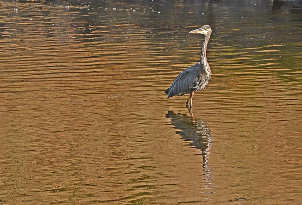 Mill Creek Heron Snares Snake, 9-1-15