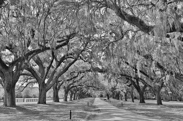 Avenue of Oaks to Print