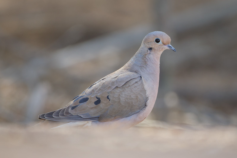 Mourning Dove - SBSSNWR Headquarters, Salton Sea Area, CA, USA