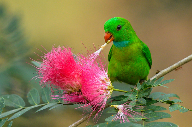 Vernal-hanging-parrot-powderpuff-flower-goa-1.jpg