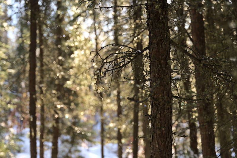 Bokeh in the Forest