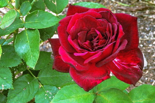 Ritter Park Rose Garden (26 Images)
