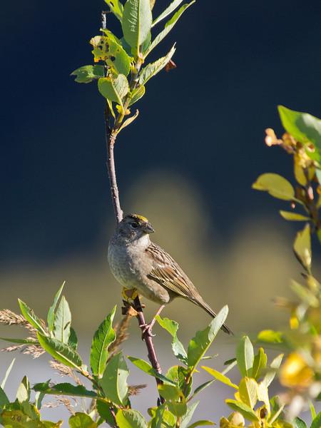 A sparrow of some sort near Mendenhall Glacier.