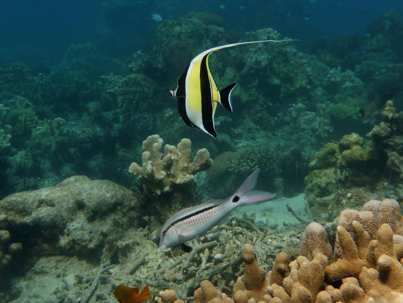 008_0519 Long Barbel Goatfish_Parupeneus_macronema.jpg