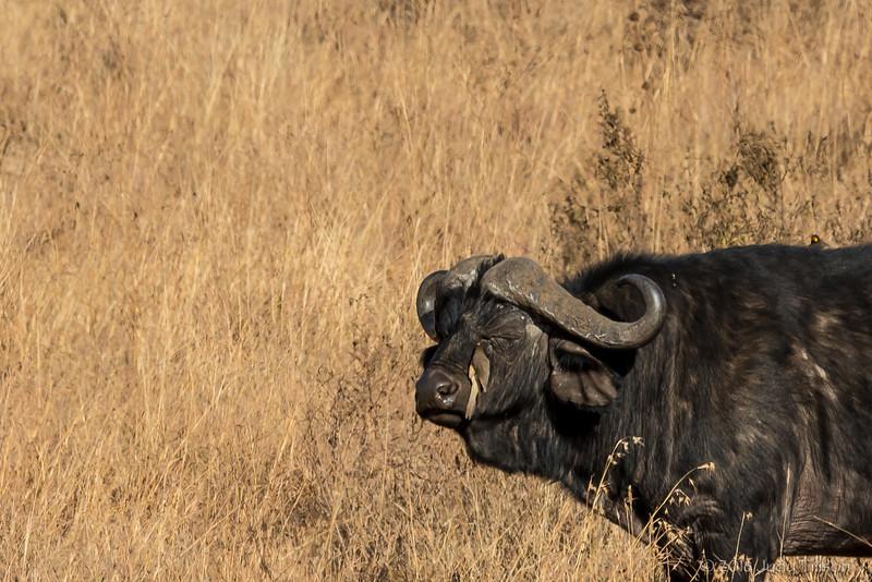 Tanzania Serengeti African buffalo with redbilled oxpecker-9542.jpg