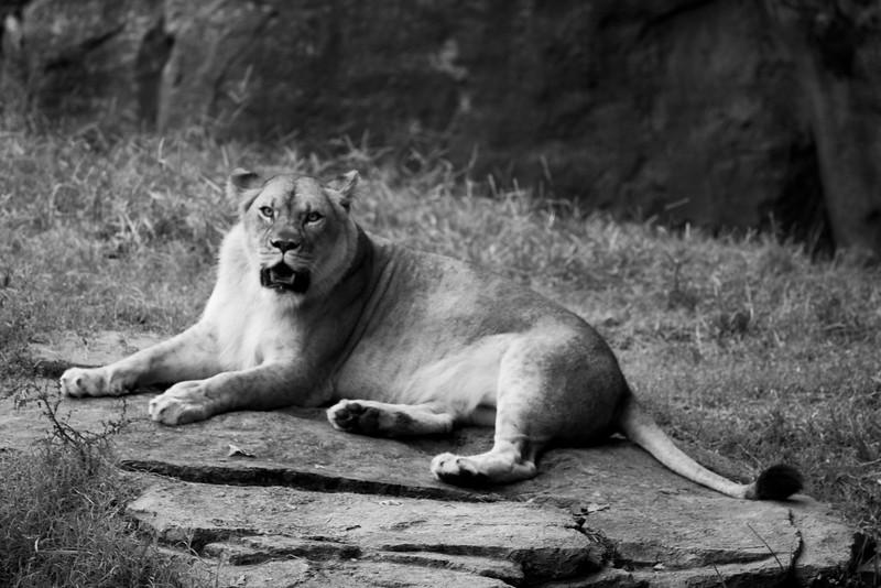 Lion_51009735.jpg