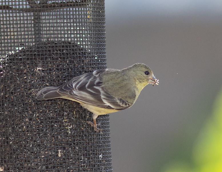 hummingbird-9904.jpg