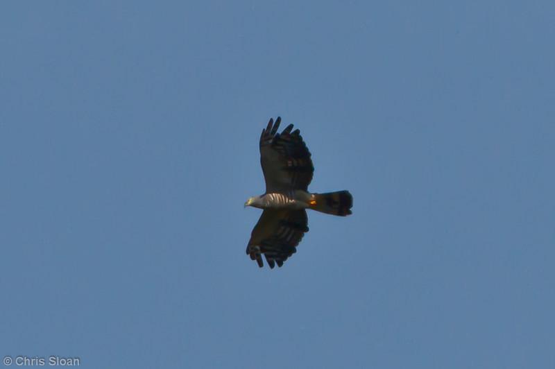 Hook-billed Kite at Juan Guerra, Tarapoto, Peru (07-04-2010)-68.jpg