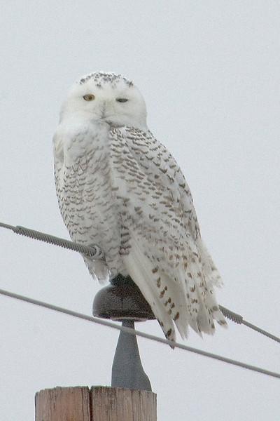 Owl - Snowy - Tamarack, MN