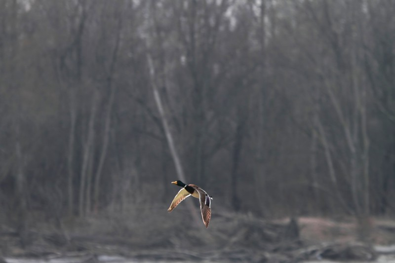 Mallard taking flight