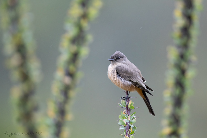 Say's Phoebe in the rain