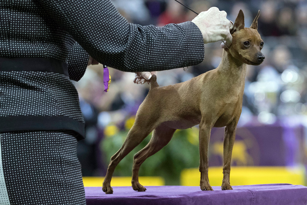 . Porsche, a miniature pinscher, competes in the Toy group during the 142nd Westminster Kennel Club Dog Show, Monday, Feb. 12, 2018, at Madison Square Garden in New York. (AP Photo/Mary Altaffer)