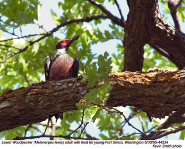 Lewis'WoodpeckerA44534.jpg